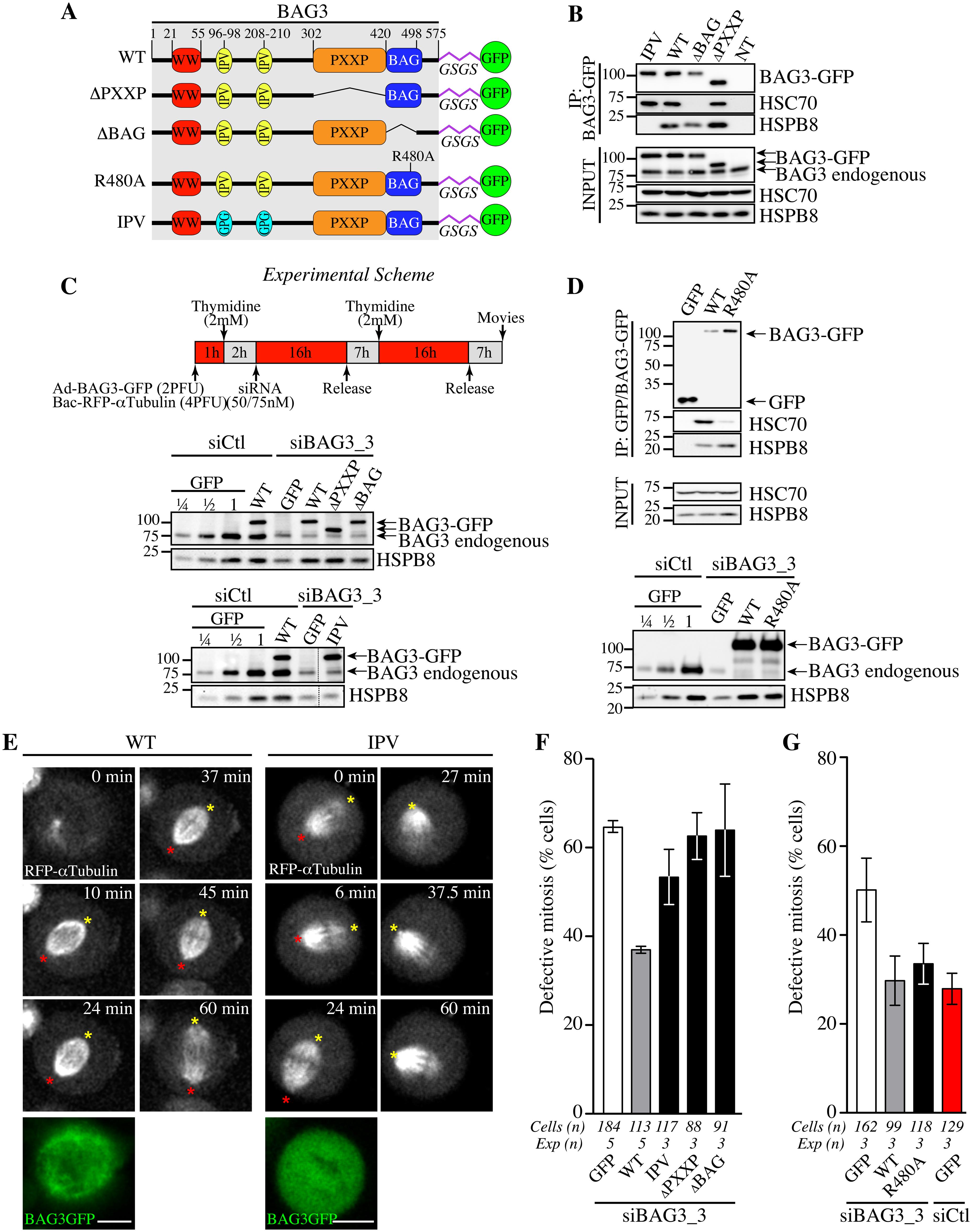 Structural requirements on BAG3 for restoration of normal spindle dynamics in BAG3-depleted cells.