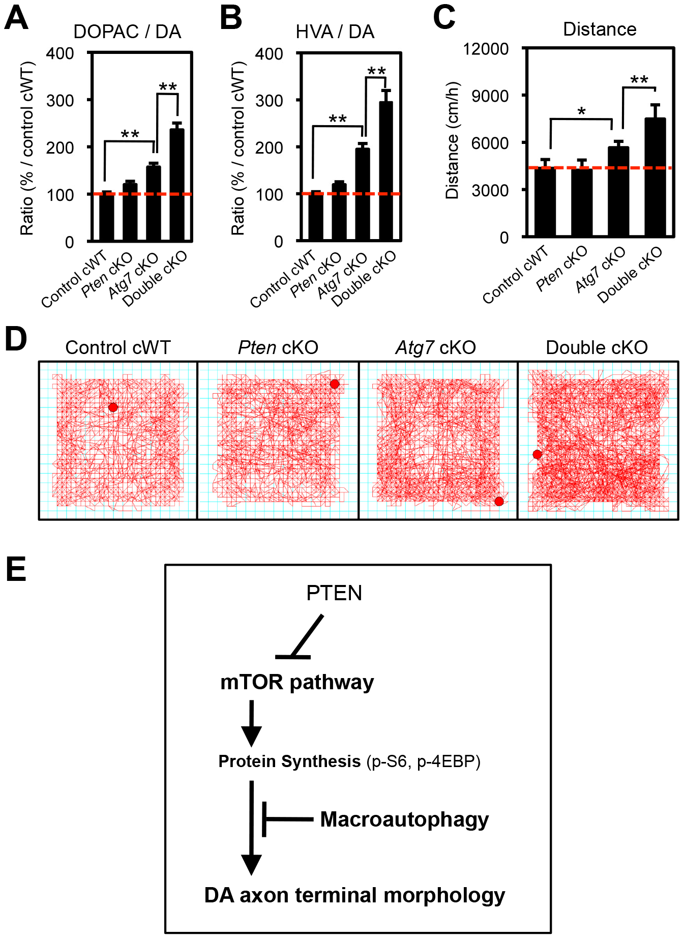 Atg7 and Pten double deficiency synergistically increases DA turnover and DA-associated behaviors.