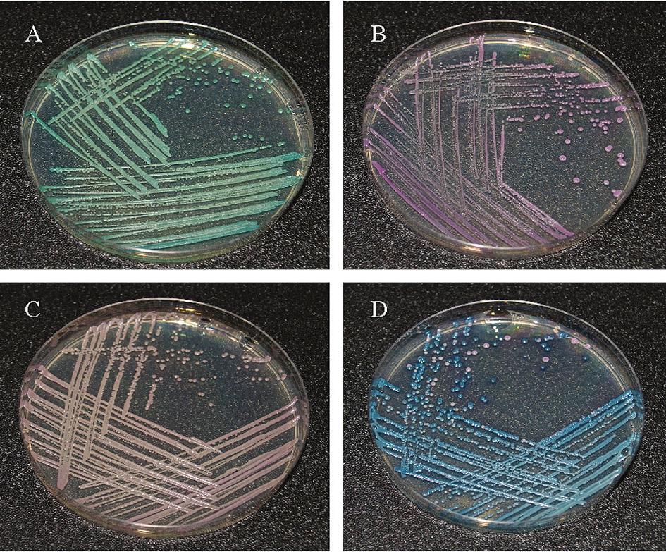 Identifikace izolátů a – C. albicans, b – C. glabrata, b – C. parapsilosis, d – C. tropicalis