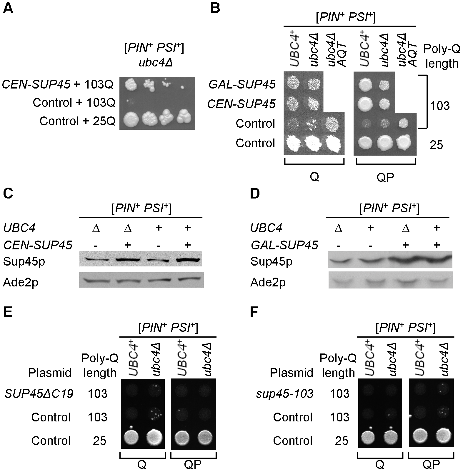 Modulation of polyglutamine toxicity by the plasmid-borne release factor genes.