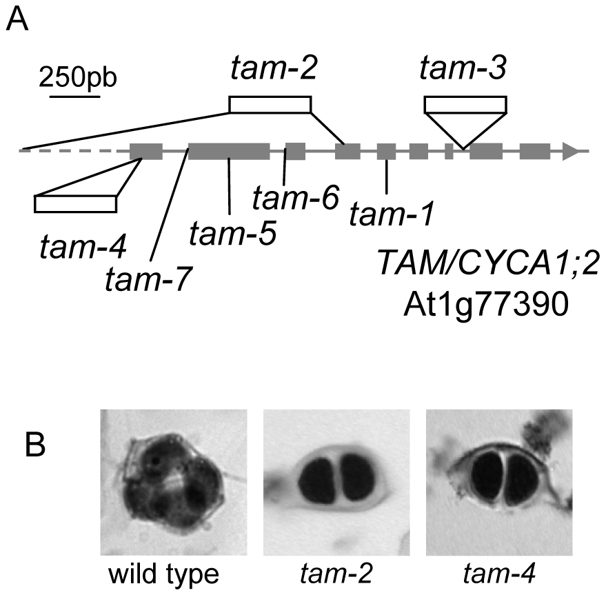 The <i>tam</i> mutations.