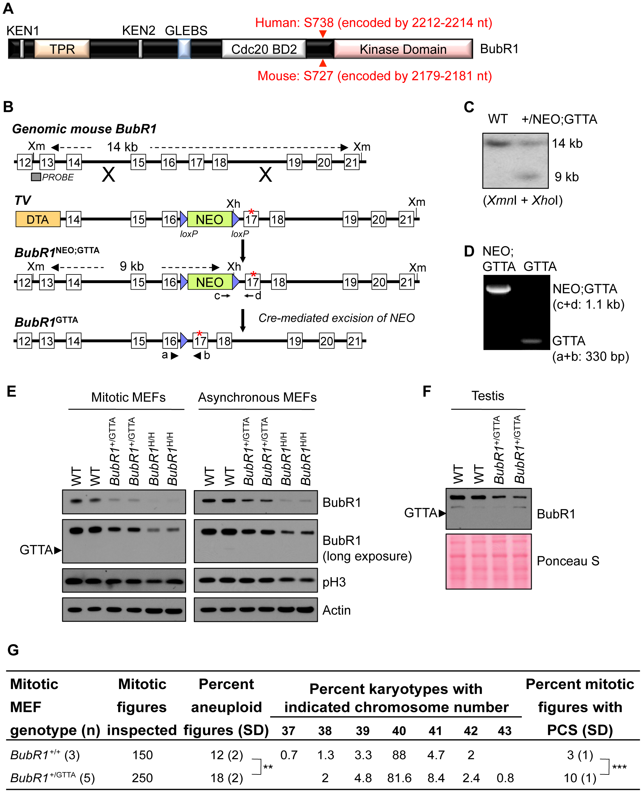 <i>BubR1</i><sup>+/GTTA</sup> mice are viable and mimic their human counterpart.