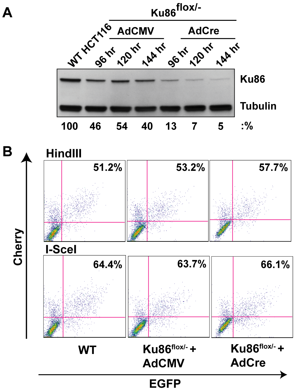 Ku86-null cells show wild-type levels of end joining activity.