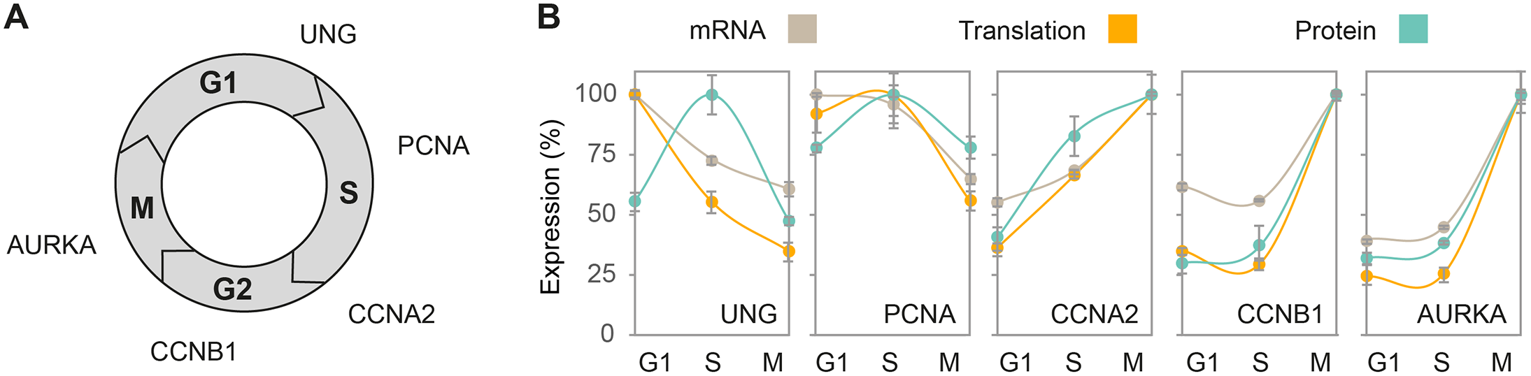 Concordant expression patterns of cell cycle markers.