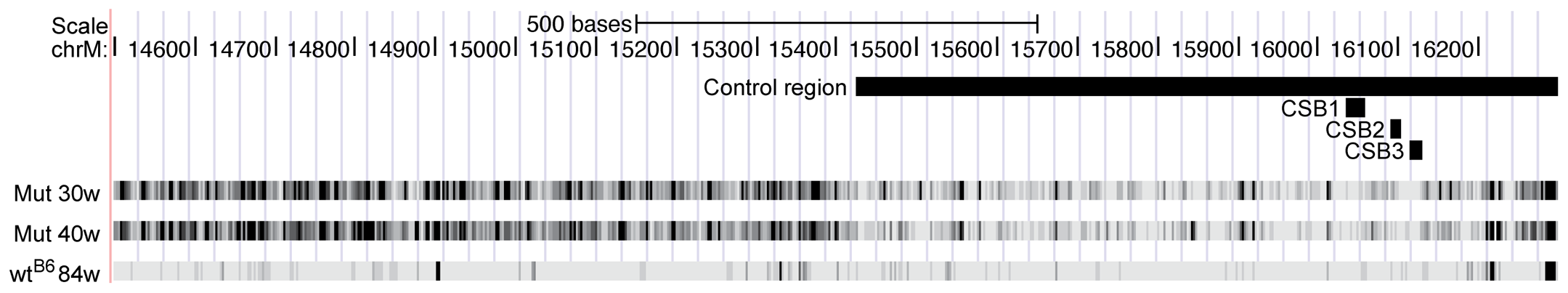 Mutation frequencies for the two mtDNA mutator mice (Mut 30w and Mut 40w) and the C57Bl/6N 84-week-old mouse (wt<sup>B6</sup>) in a region including the control region.