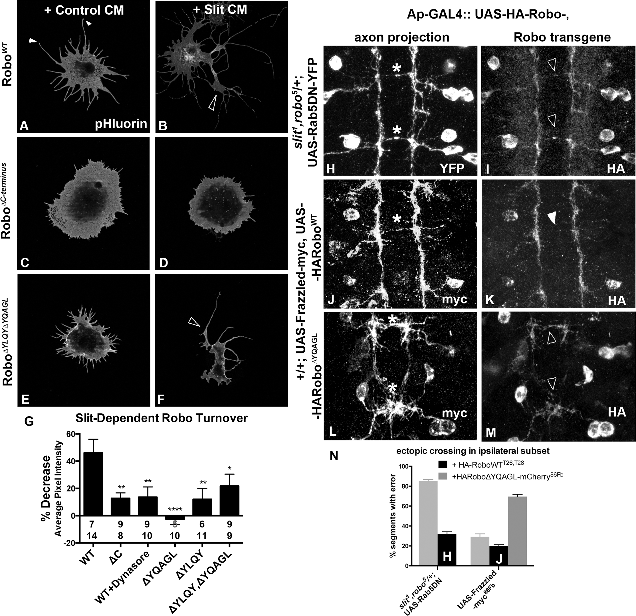 Clathrin-dependent Endocytosis is required for removal of Robo from the surface.