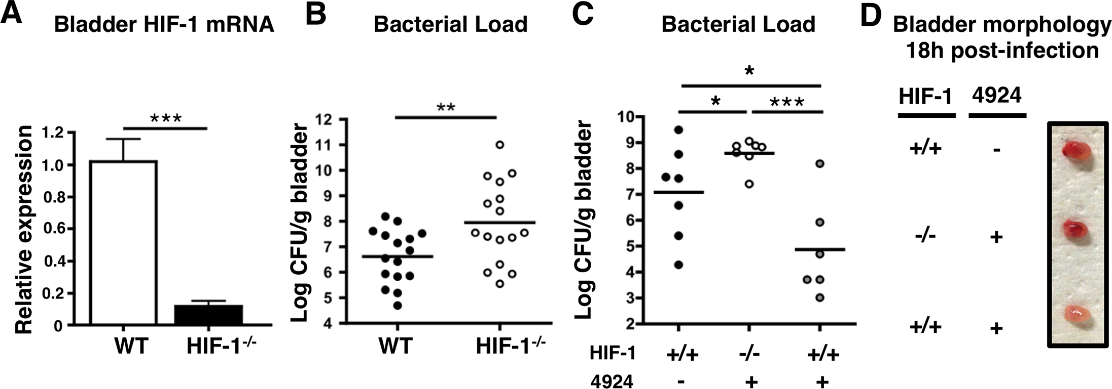 Mice lacking HIF-1 in their bladder epithelium are more susceptible to UPEC urinary tract colonization.