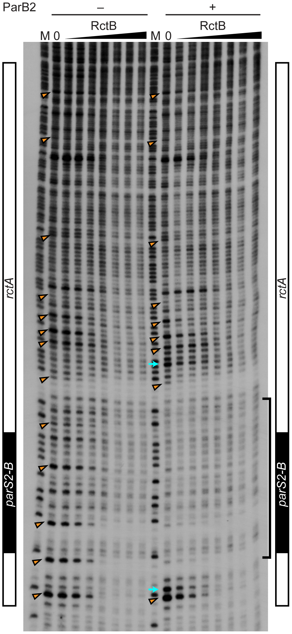 Protection of <i>rctA</i> from DNase I digestion in the presence of RctB or RctB and ParB2.