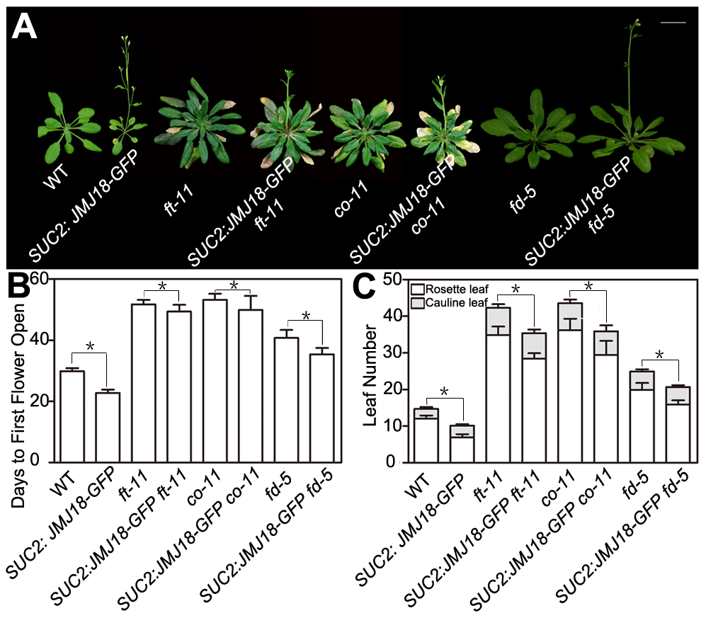 Functional FT is necessary for promotion of the floral transition by JMJ18.