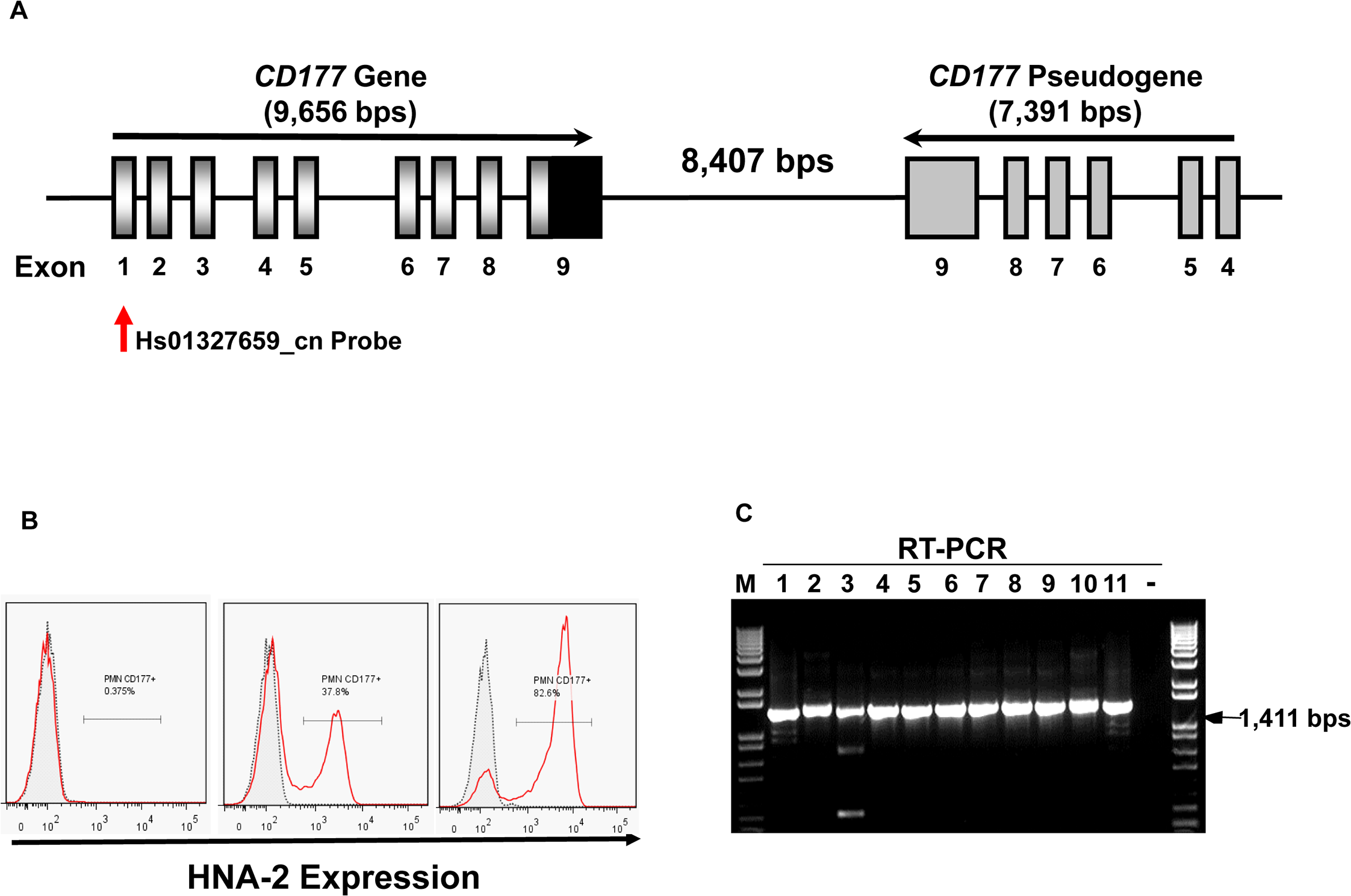 <i>CD177</i> gene structure and HNA-2 expression.