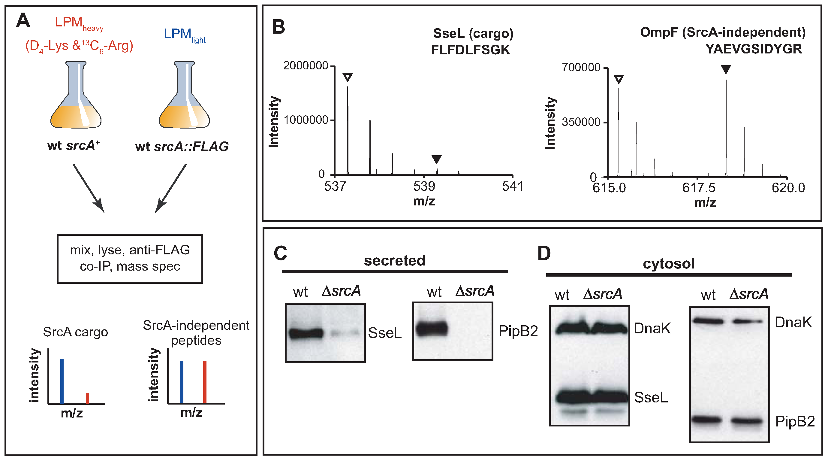 SrcA is a multi-cargo secretion chaperone for SseL and PipB2.