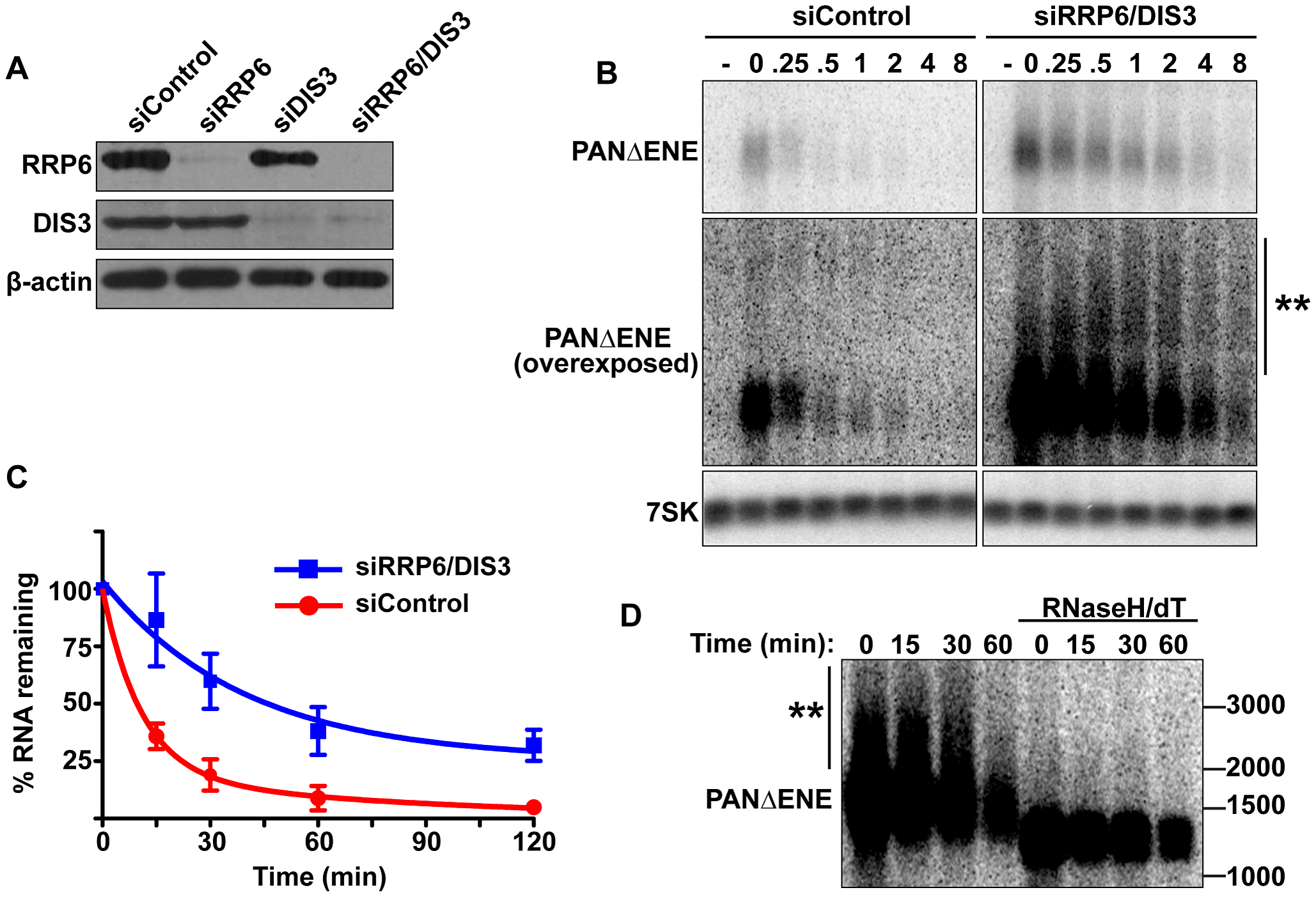 PANΔENE is stabilized and hyperadenylated upon exosome depletion.