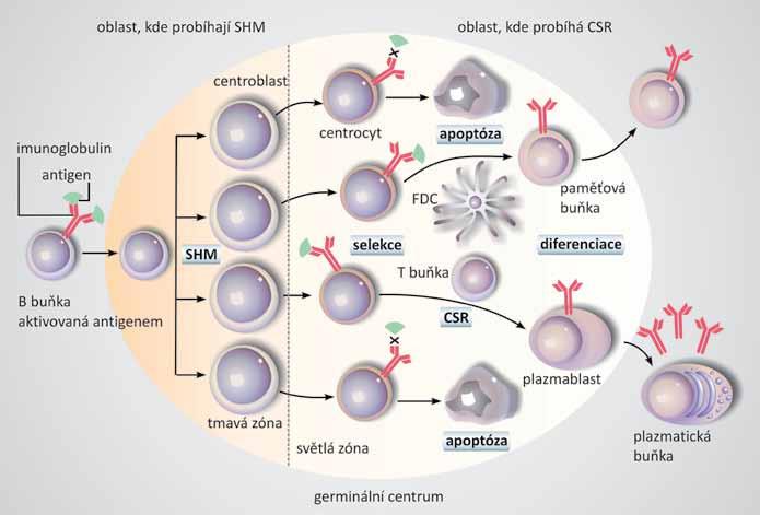 Mikroprostředí germinálního centra.  B buňky aktivované antigenem diferencují v centroblasty, které klonálně expandují v tmavé zóně germinálního centra. Během proliferace probíhá proces somatických hypermutací (SHM). Centroblasty diferencují v centrocyty a přesunují se do světlé zóny, kde za pomoci T buněk a folikulárních dendritických buněk (FDC) dochází k selekci na základě vazby k imunizujícímu antigenu. Centrocyty, které produkují nevyhovující protilátky, vstupují do apoptózy, ostatní centrocyty procházejí procesem izotypového přepnutí (CSR) a dále diferencují v plazmatické a paměťové buňky. Převzato a upraveno dle [4].