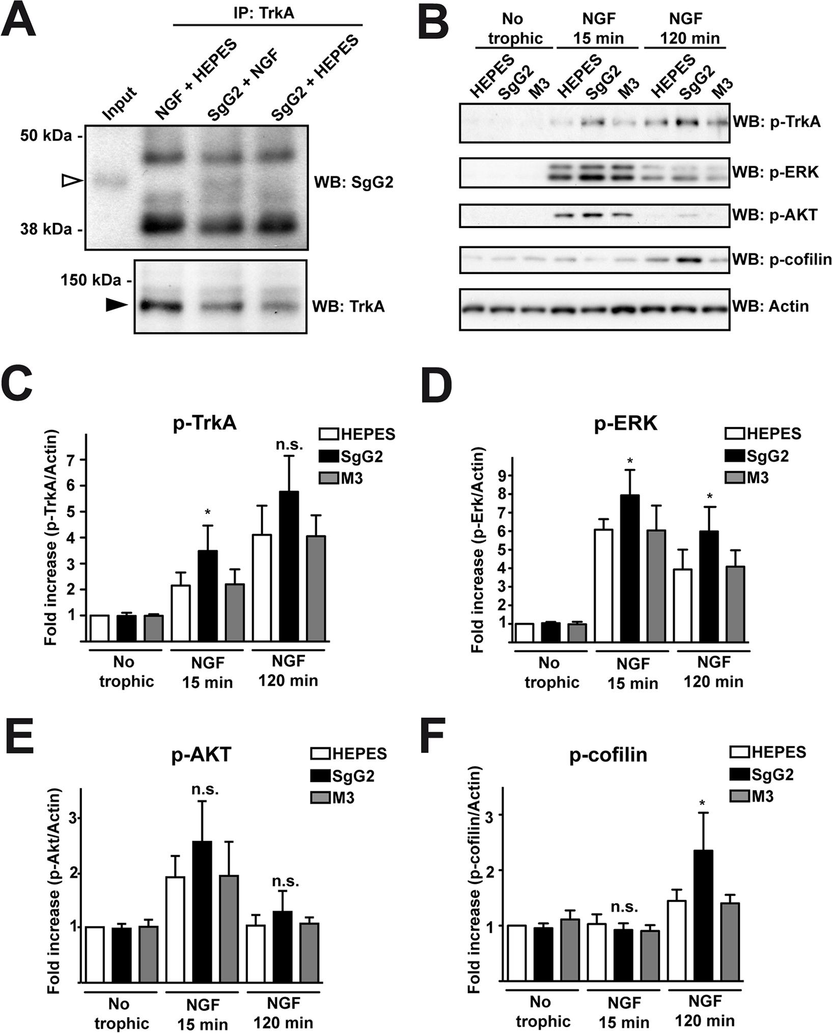 SgG2 modifies NGF-TrkA signaling.