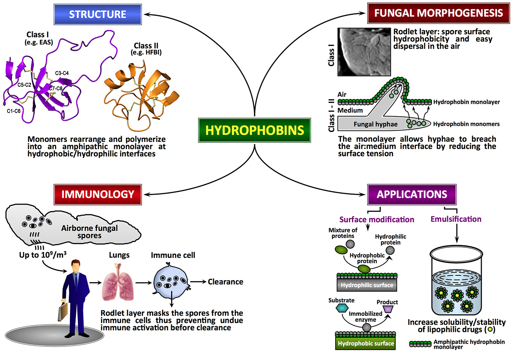 Fungal hydrophobins.