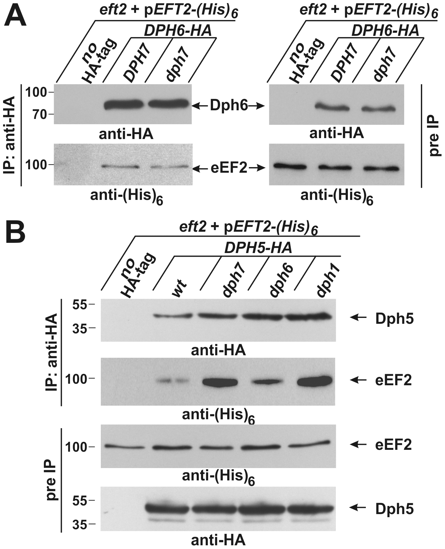Co-immune precipitations reveal eEF2 interactions with Dph6 and Dph5.