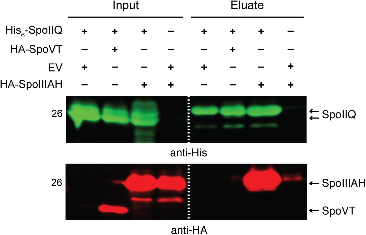 <i>C</i>. <i>difficile</i> SpoIIQ and SpoIIIAH directly interact <i>in vitro</i>.