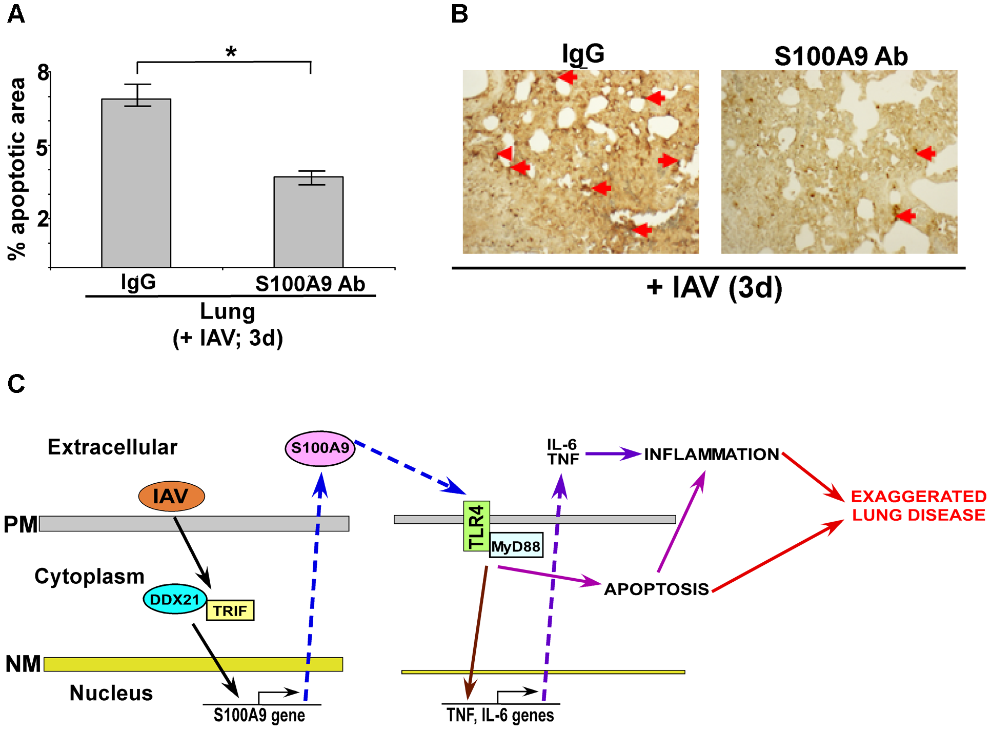 Extracellular S100A9 promotes optimal apoptosis in the lung of IAV infected mice.