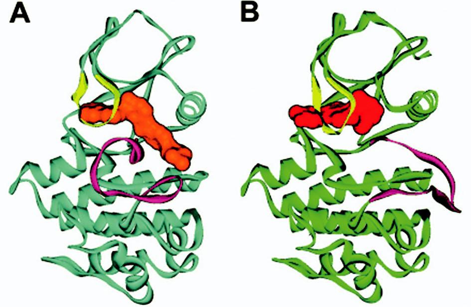 Stuhová prostorová struktura ABL (modrá barva) s imatinibem (oranžová barva) a pro srovnání s jiným inhibitorem (PD 180970, červená barva, ABL zelená barva). A smyčka (fialová) v uzavřené poloze v případě imatinibu (část A obrázku), pro srovnání v otevřené poloze s jiným inhibitorem (část B obrázku). P smyčka (žlutá barva) je pohnuta inhibitorem v obou případech (viz také tab. 3). Upraveno dle Deininger et al. (4).