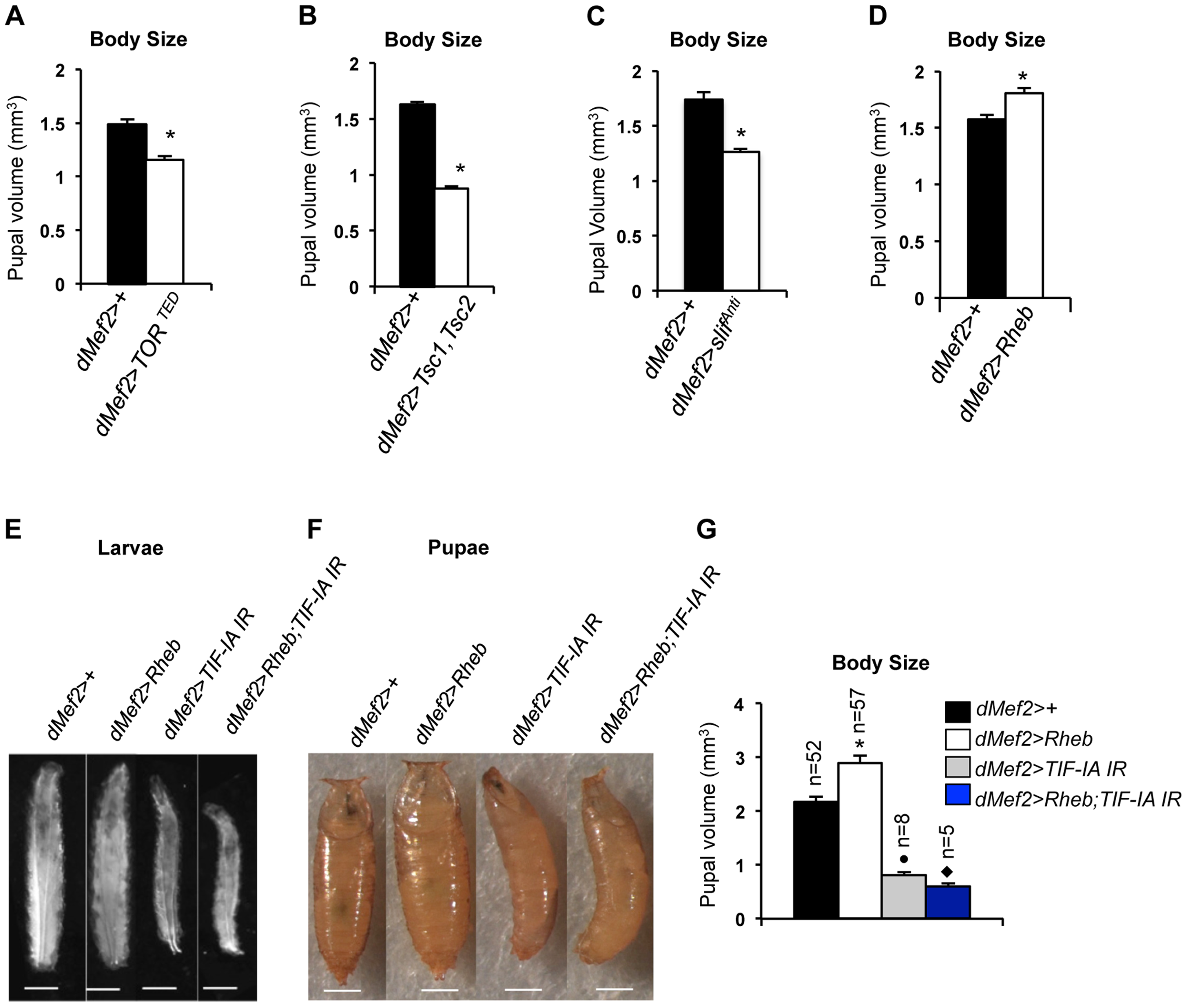 TOR activity in muscle is required and sufficient to promote body growth and TIF-IA inhibition in muscle blocks Rheb induced body growth.