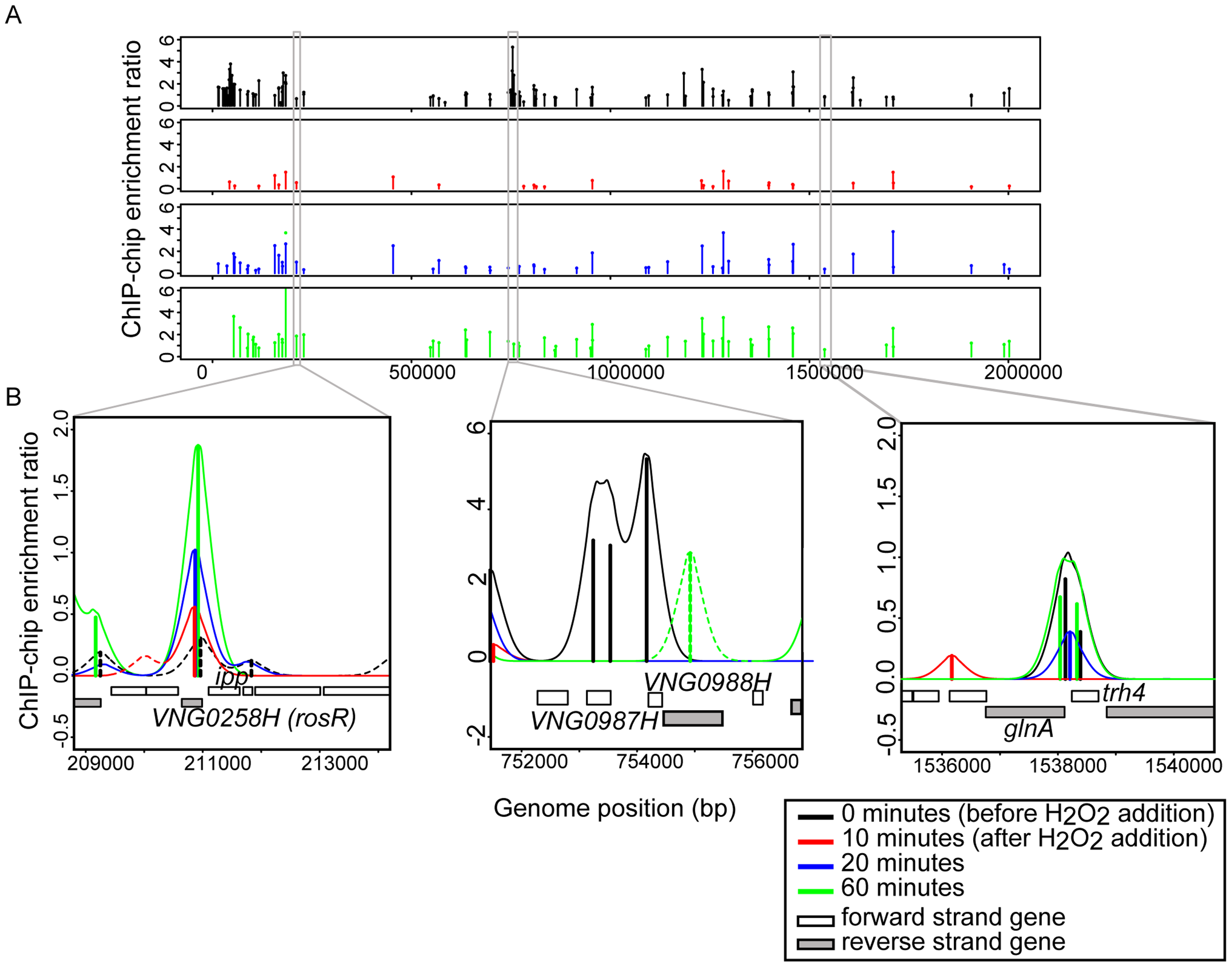 RosR binds to DNA dynamically throughout the genome in response to H<sub>2</sub>O<sub>2</sub>.