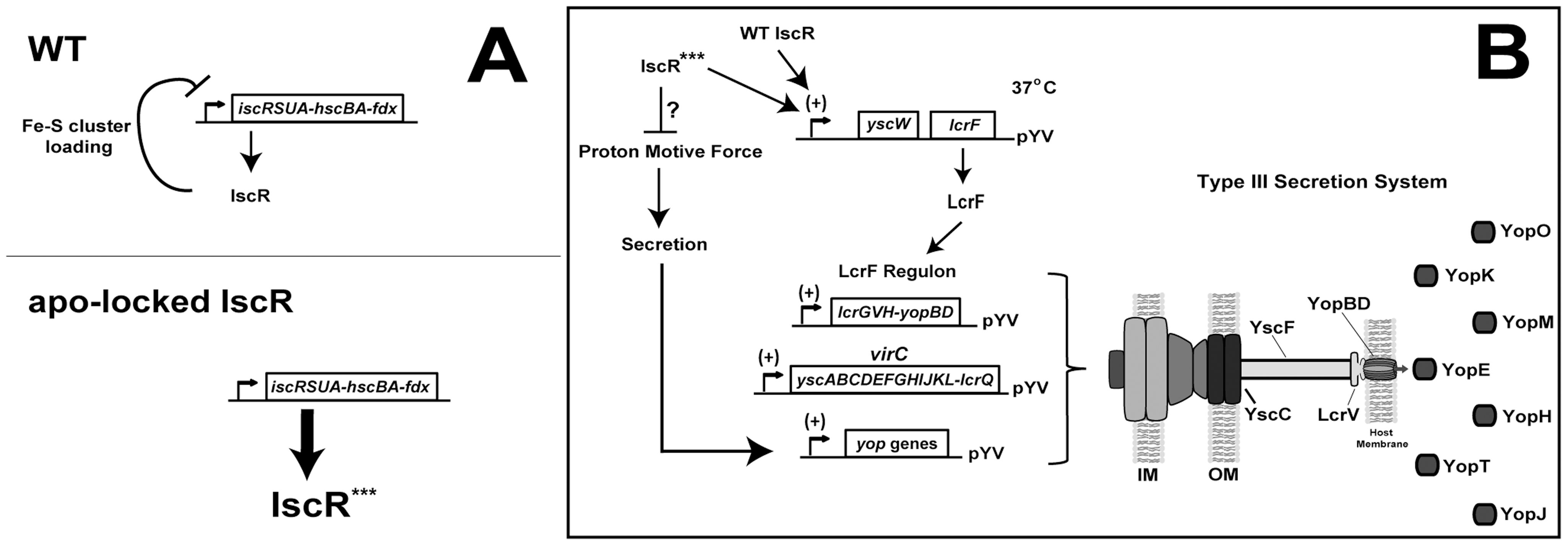 Regulation of the <i>isc</i> and <i>lcrF</i> operons by IscR.