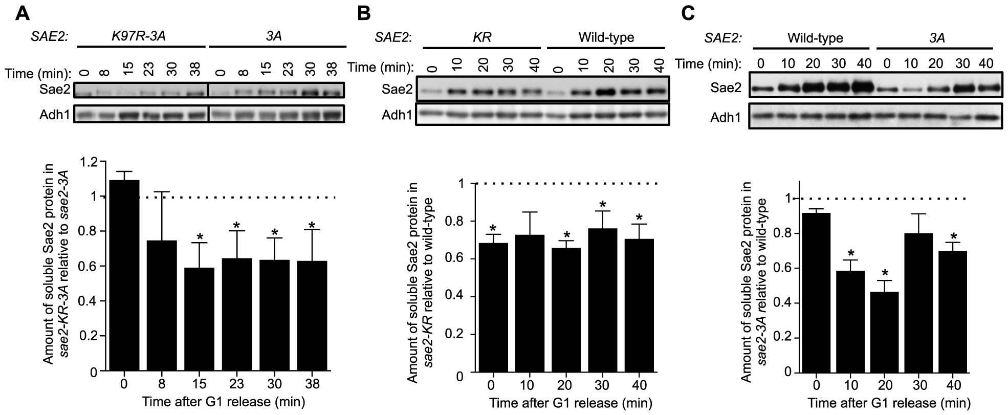 Sumoylation of Sae2 increases the levels of soluble Sae2.