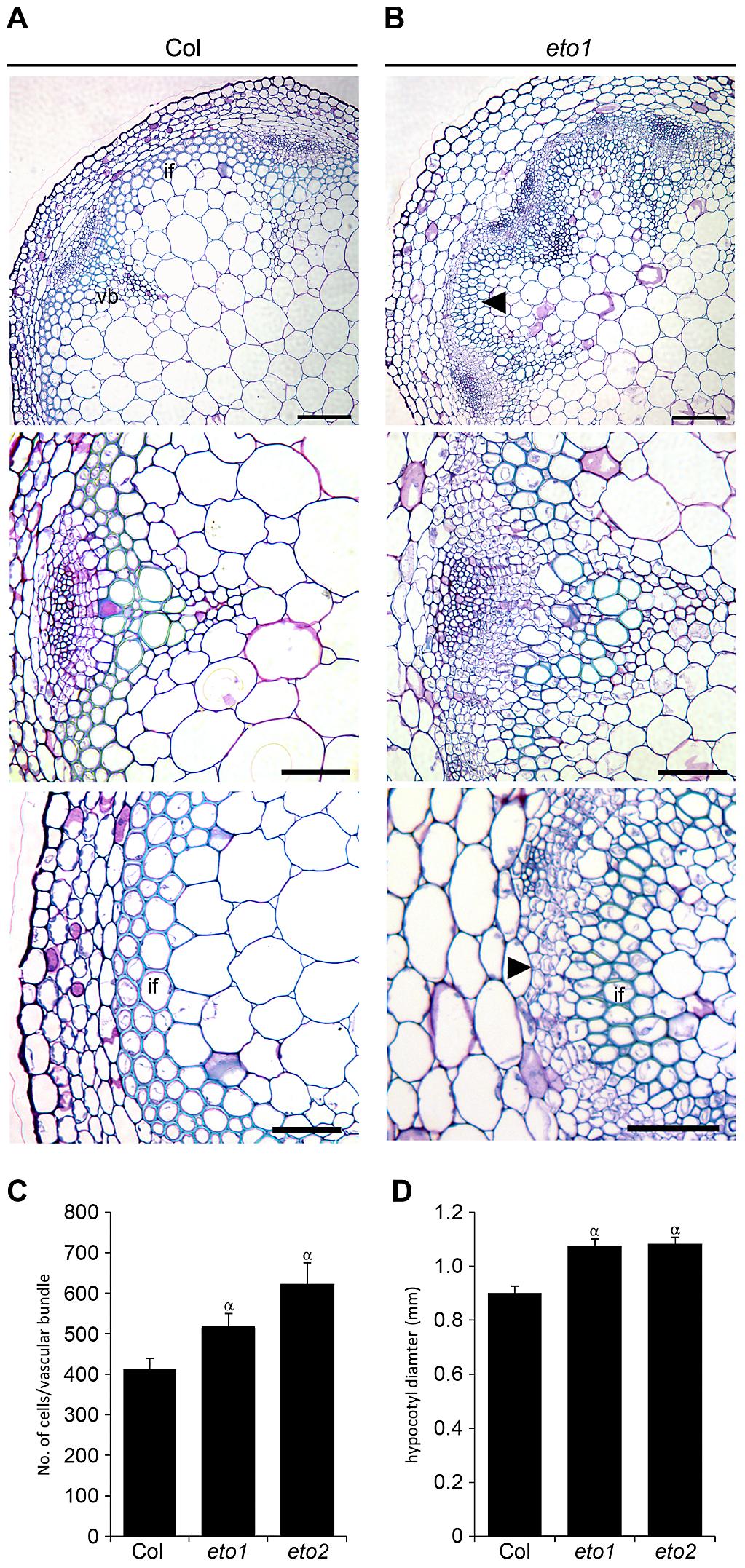 Increased vascular cell divisions in <i>eto1</i> and <i>eto2</i> mutants.