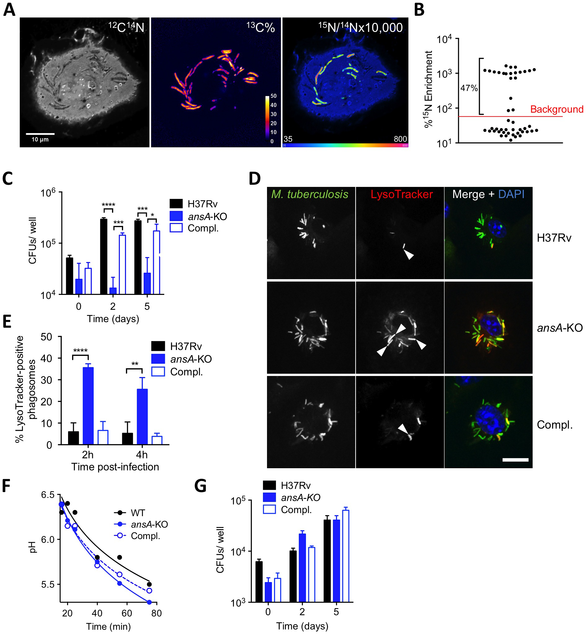 Requirement of AnsP2 and AnsA for <i>M. tuberculosis</i> resistance to acid in host macrophages.