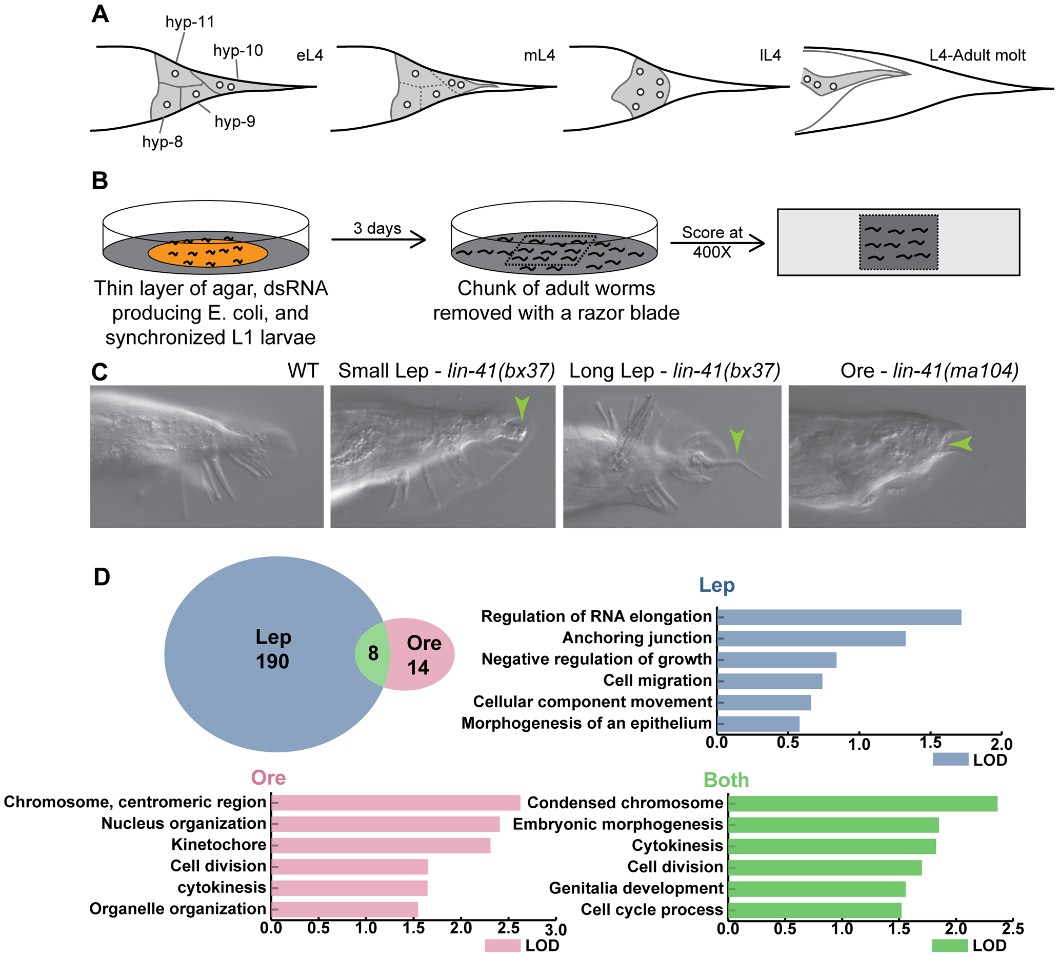 Overview of tail tip morphogenesis and the experimental design for the genome-wide RNAi screen for tail tip defects in male <i>C. elegans</i>.