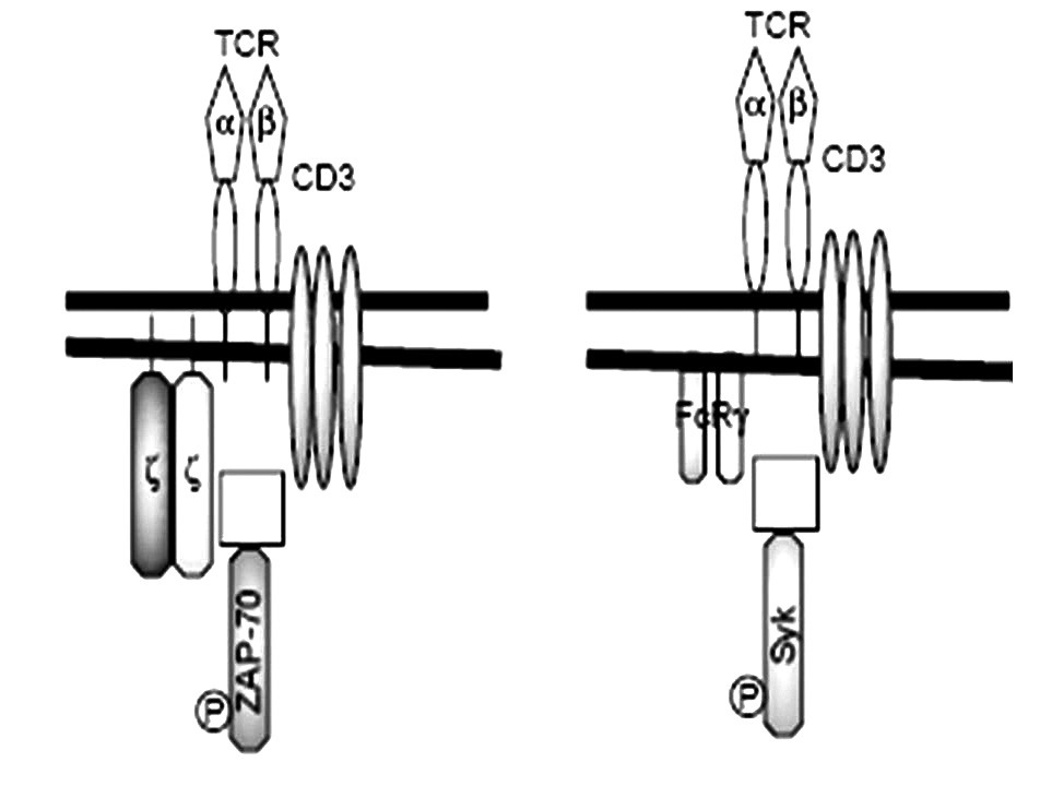Porovnanie antigénového receptora T-lymfocytov (TCR) za fyziologických okolností a u chorých s SLE (podľa Tsokos et al. 2002, modifikované) T-lymfocyty zdravých osôb (obrázok vľavo) exprimujú TCRαβ v asociácii s 5 reťazcami diferenciačného antigénu CD3 (γ, δ, ε a homodimér ζ), asociovaný s tyrozíkinázou ZAP-70. T-lymfocyty SLE-chorých (obrázok vpravo) majú namiesto ζ-homodiméru, FcRγ-homodimér, ktorý sa spája s tyrozínkinázou Syk Fig. 3. Comparison of T lymphocyte antigen receptor (TCR) under physiological circumstances and in SLE patients (according to Tsokos et al. 2002, modified) T-lymphocytes of healthy individuals (the left figure) express TCRαβ in association with 5 chains of differentiation antigen CD3 (γ, δ, ε and homodimer ζ), with tyrosine kinase ZAP- 70. T-lymphocytes of SLE patients (the right figure), have, instead of ζ-homodimer, a FcRγ-homodimer that binds to tyrosine kinase Syk