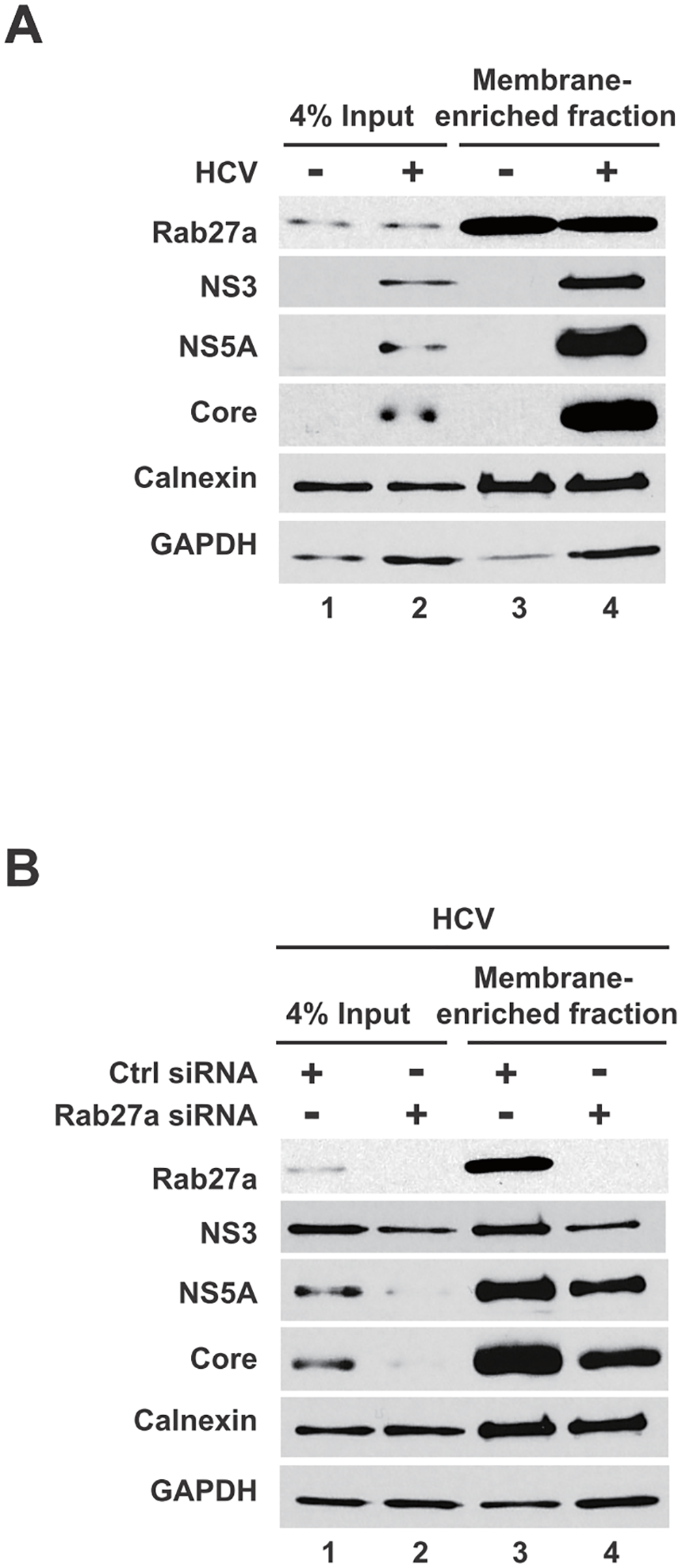 Presence of Rab27a and viral proteins membrane-enriched fractions.