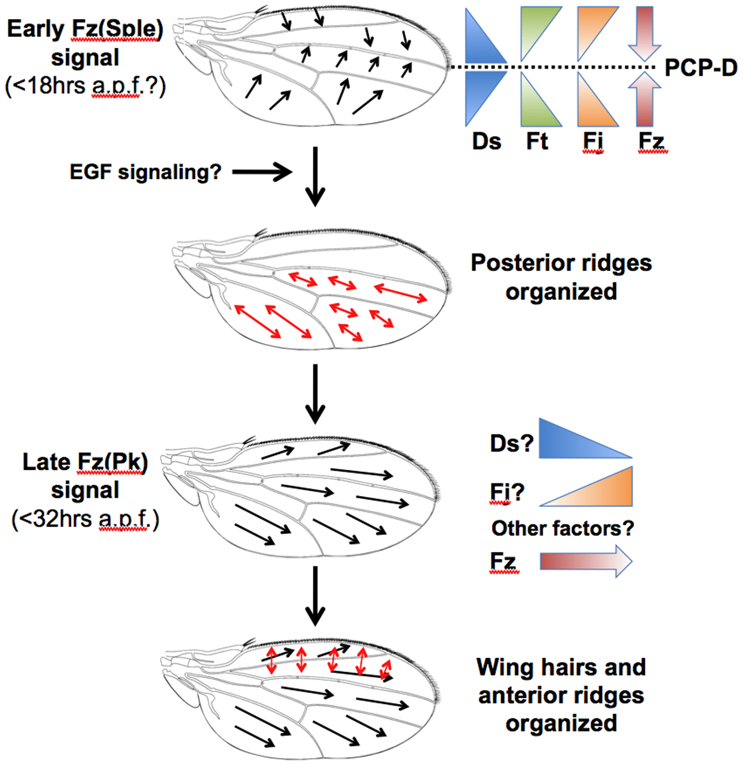 A model for PCP specification in the <i>Drosophila</i> wing.