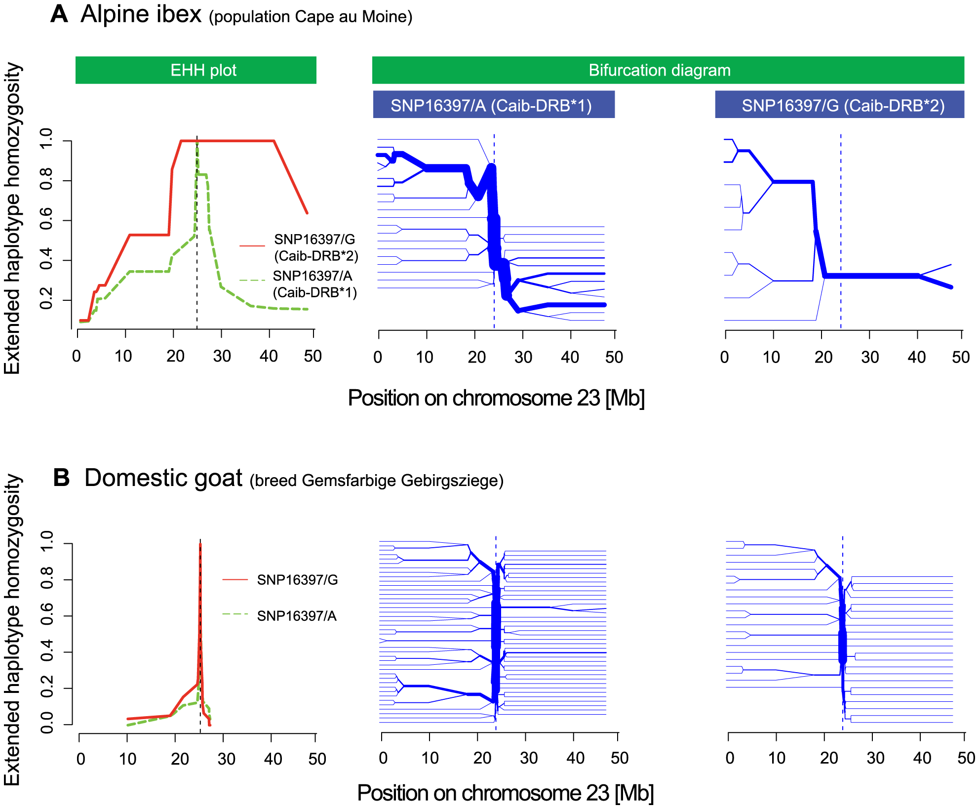 Extended haplotype homozygosity (EHH) plots and bifurcation diagrams.