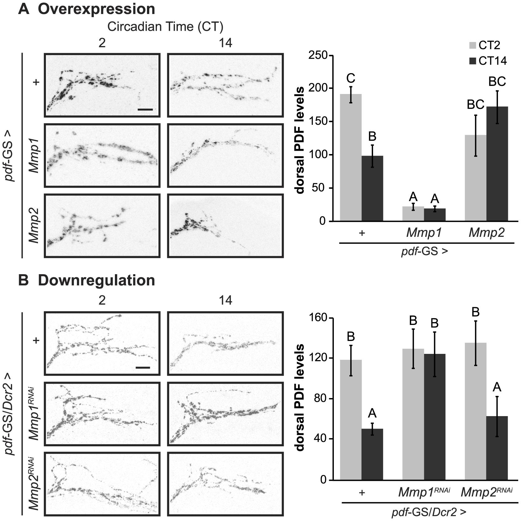 Cell autonomous Mmp1 expression regulates PDF levels.