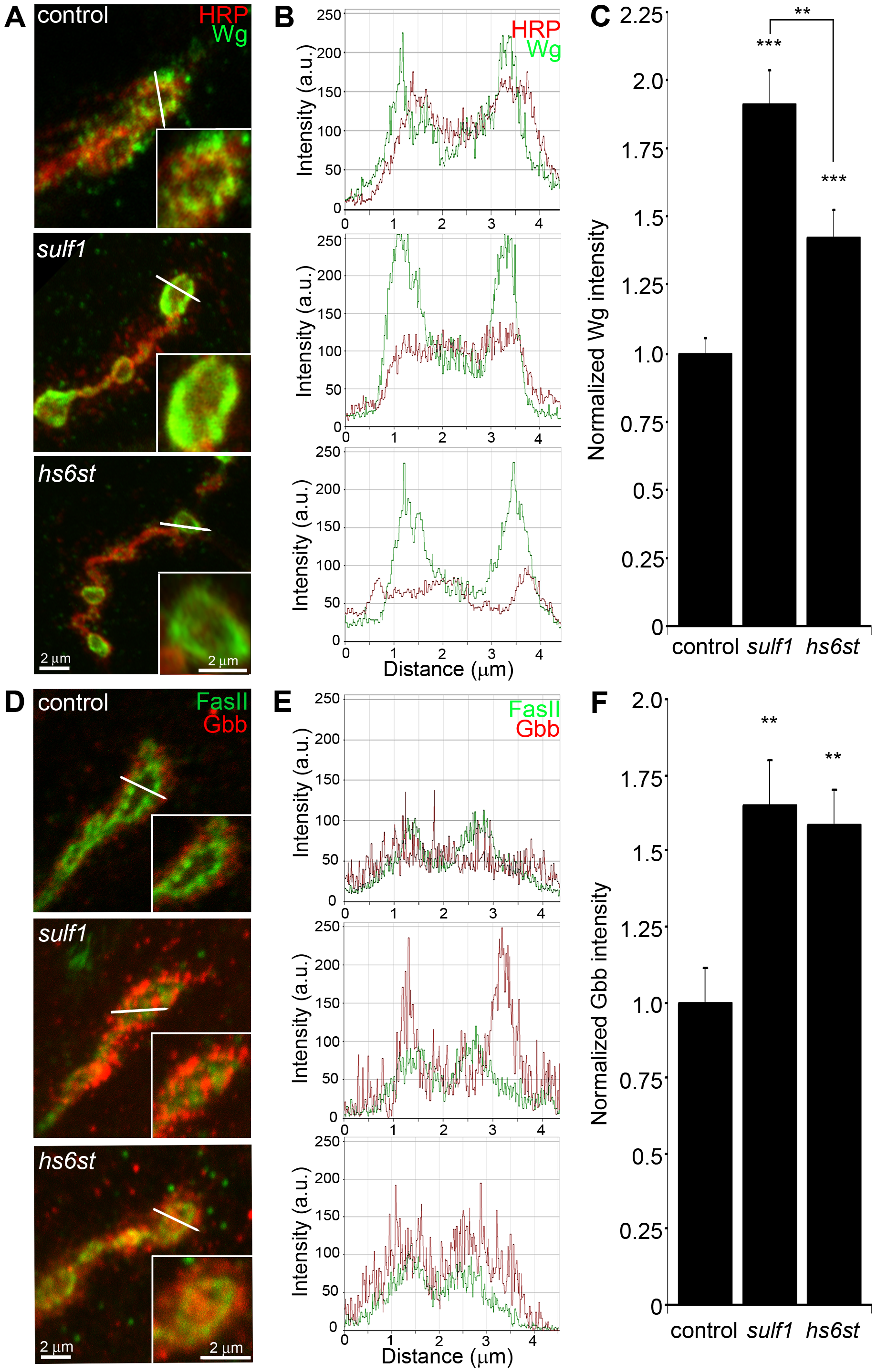 Synaptic WNT and BMP ligand abundance is modified by 6-O-S sulfation.