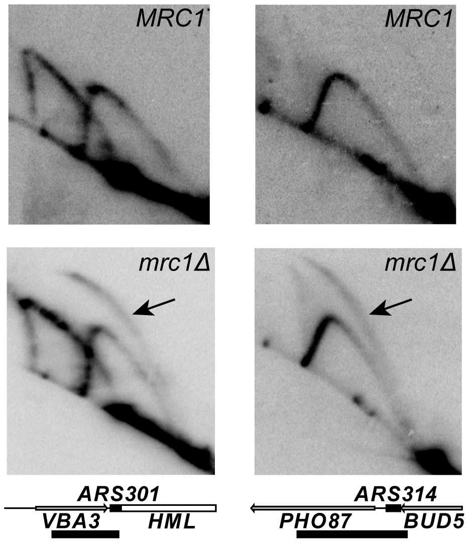 Activity of dormant origins in the <i>mrc1Δ</i> mutant.