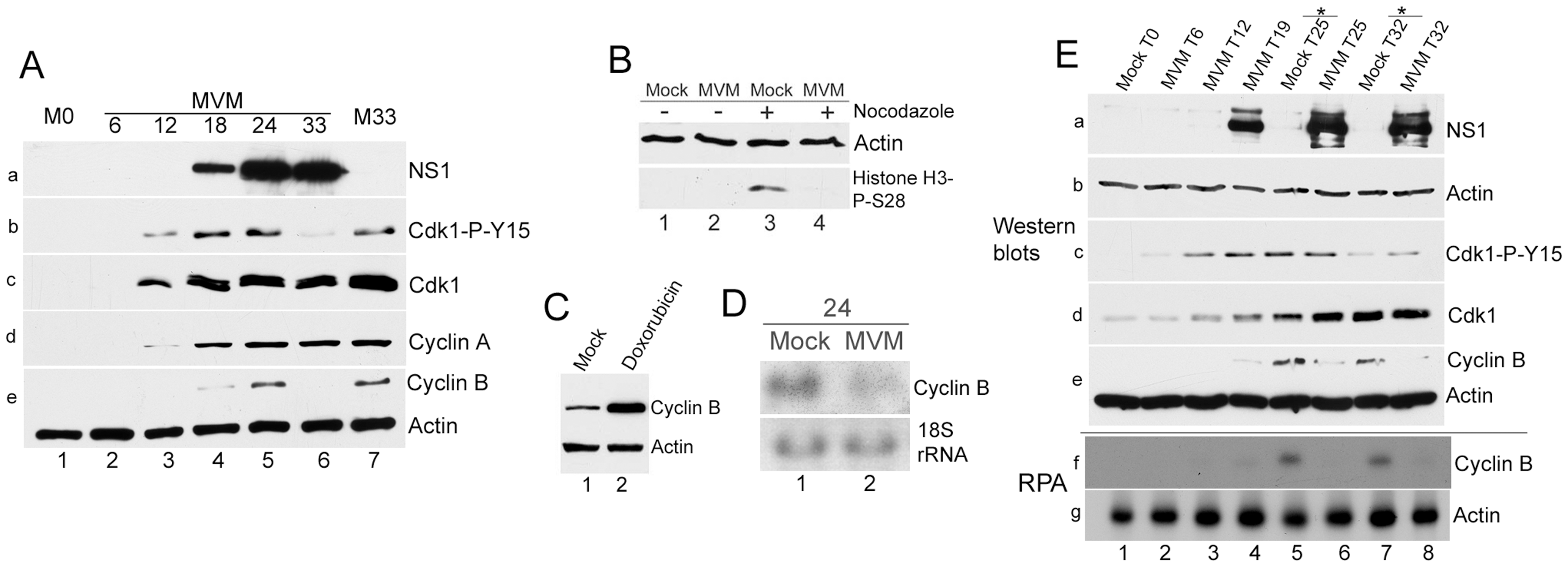 Virus-mediated downregulation of cyclin B1 RNA prevents mitotic entry.