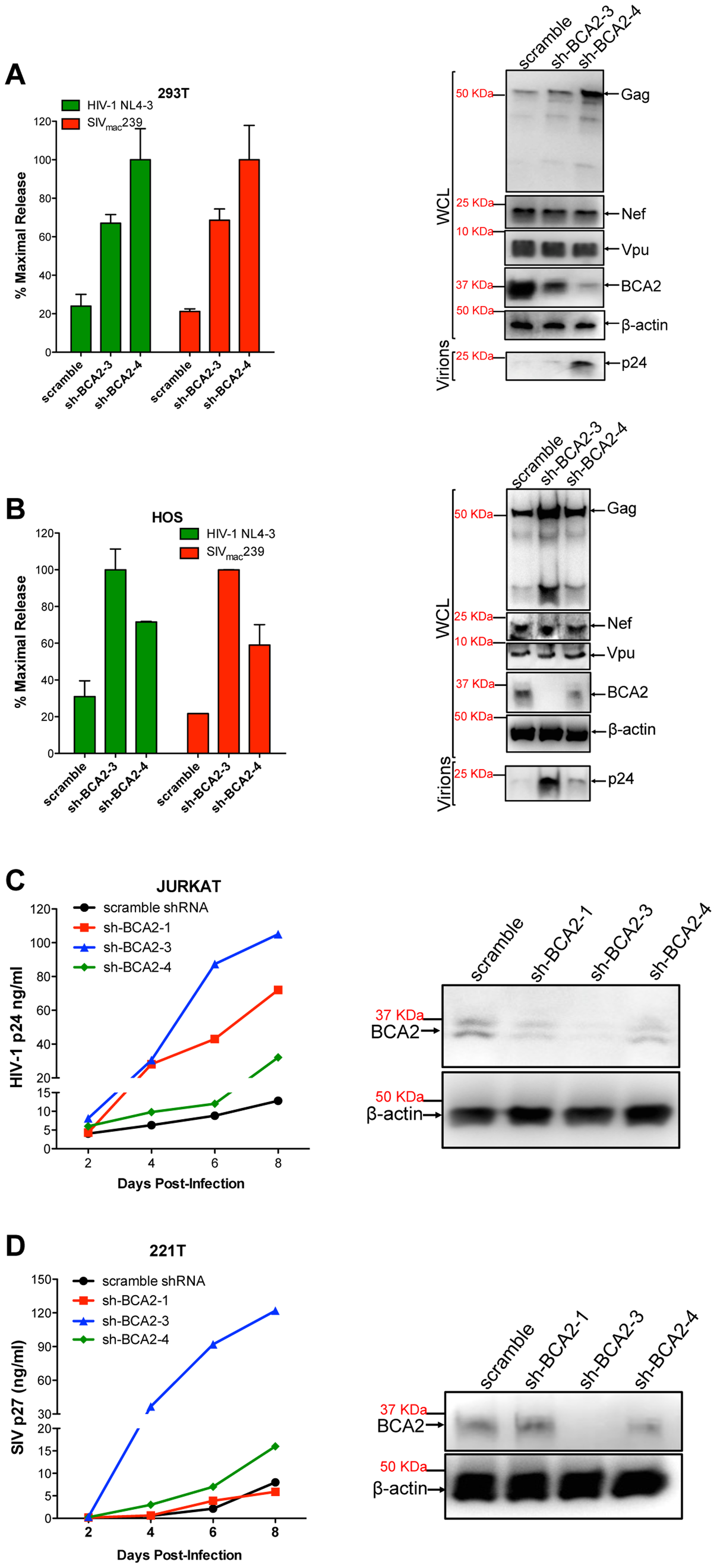 The targeted depletion of endogenous BCA2 results in increased virus release and replication.
