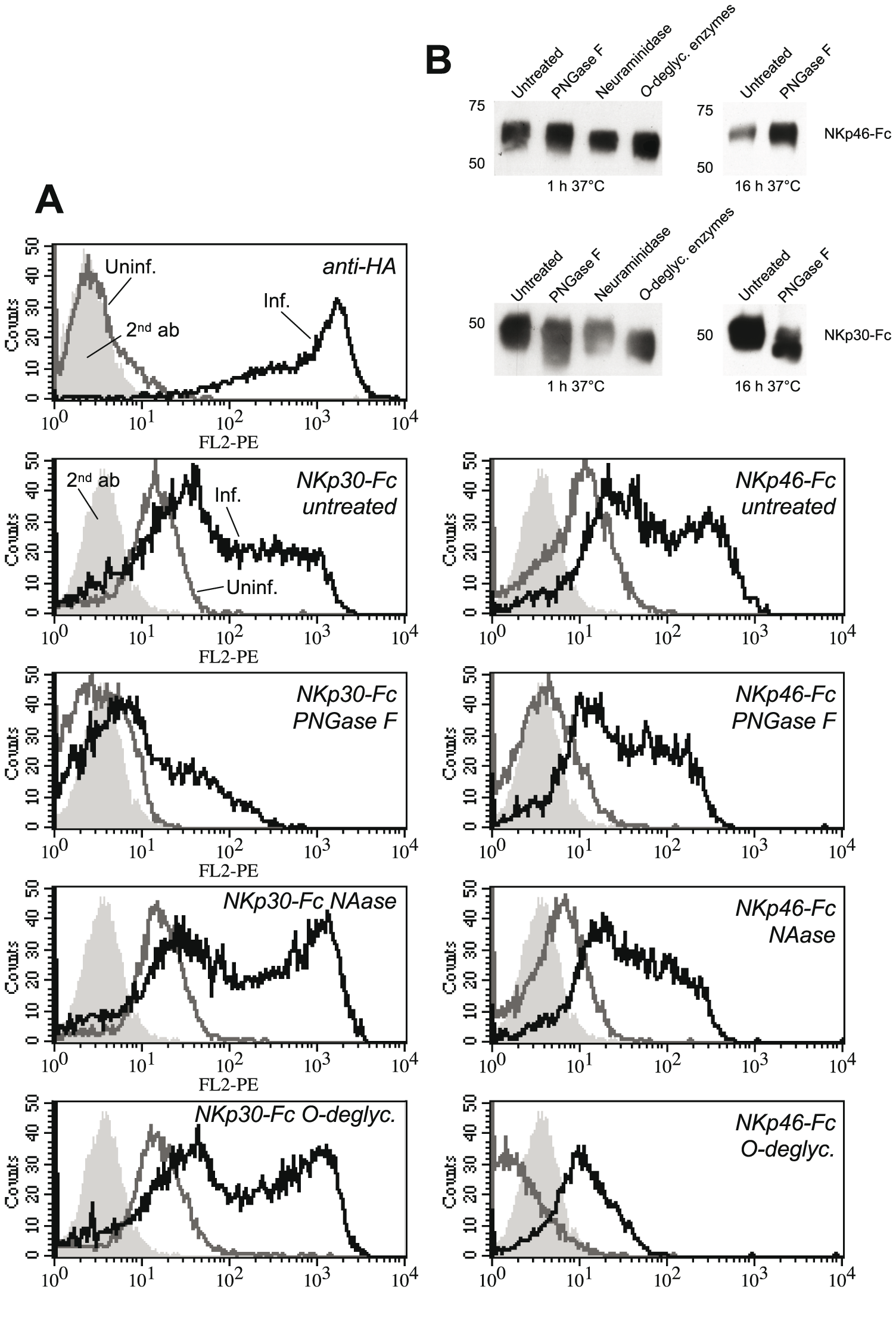 Deglycosylation differentially influences the binding of NKp30-Fc and NKp46-Fc.