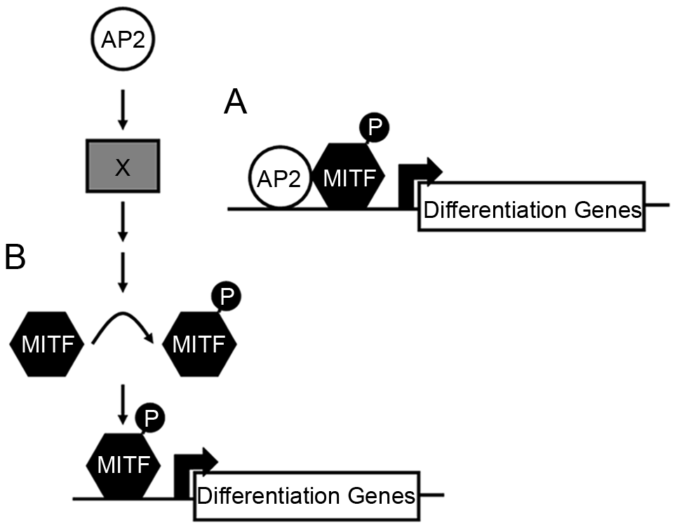 Potential models for how Tfap2 activity may function within the melanophore lineage.