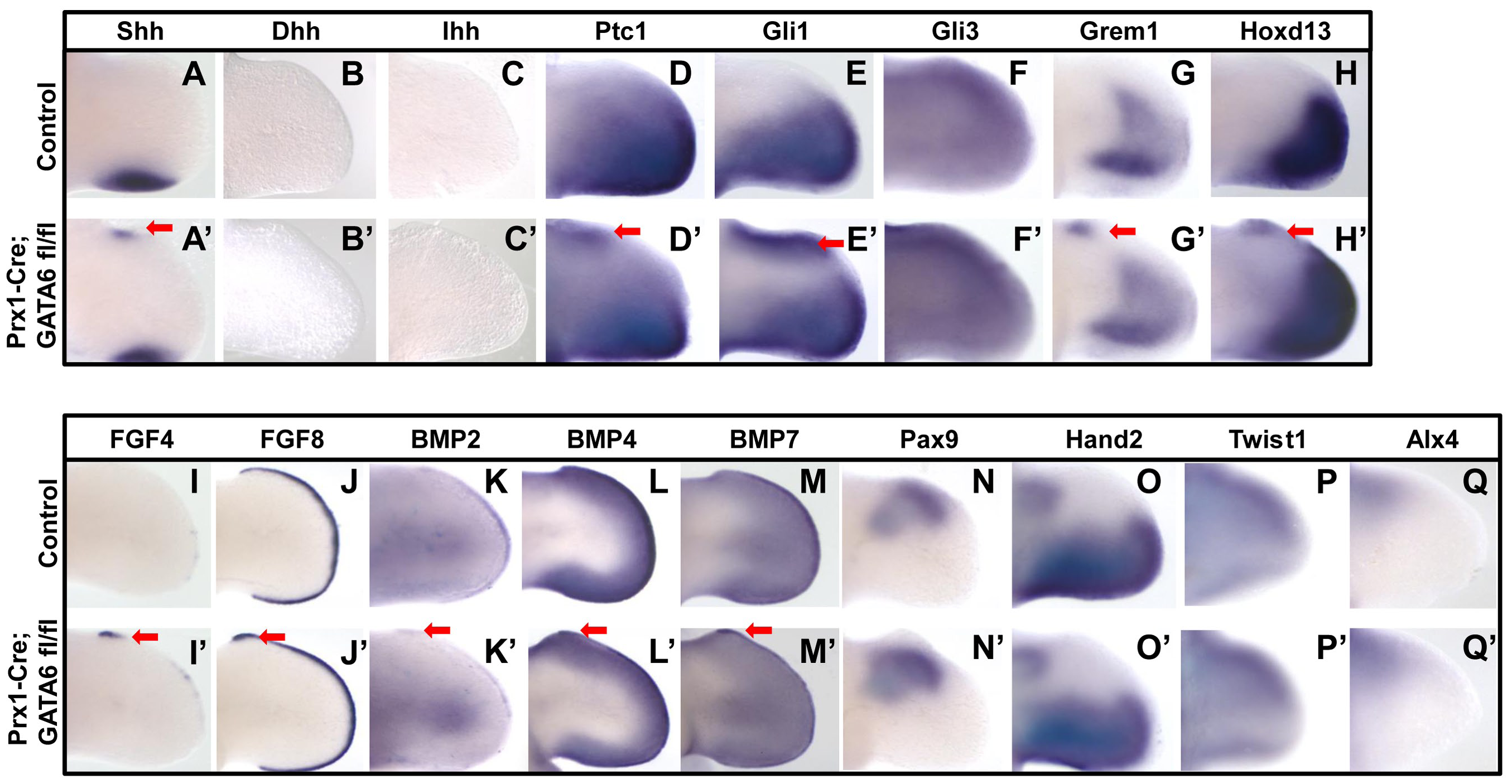 Loss of GATA6 in the hindlimb bud induces ectopic expression of hedgehog responsive genes.