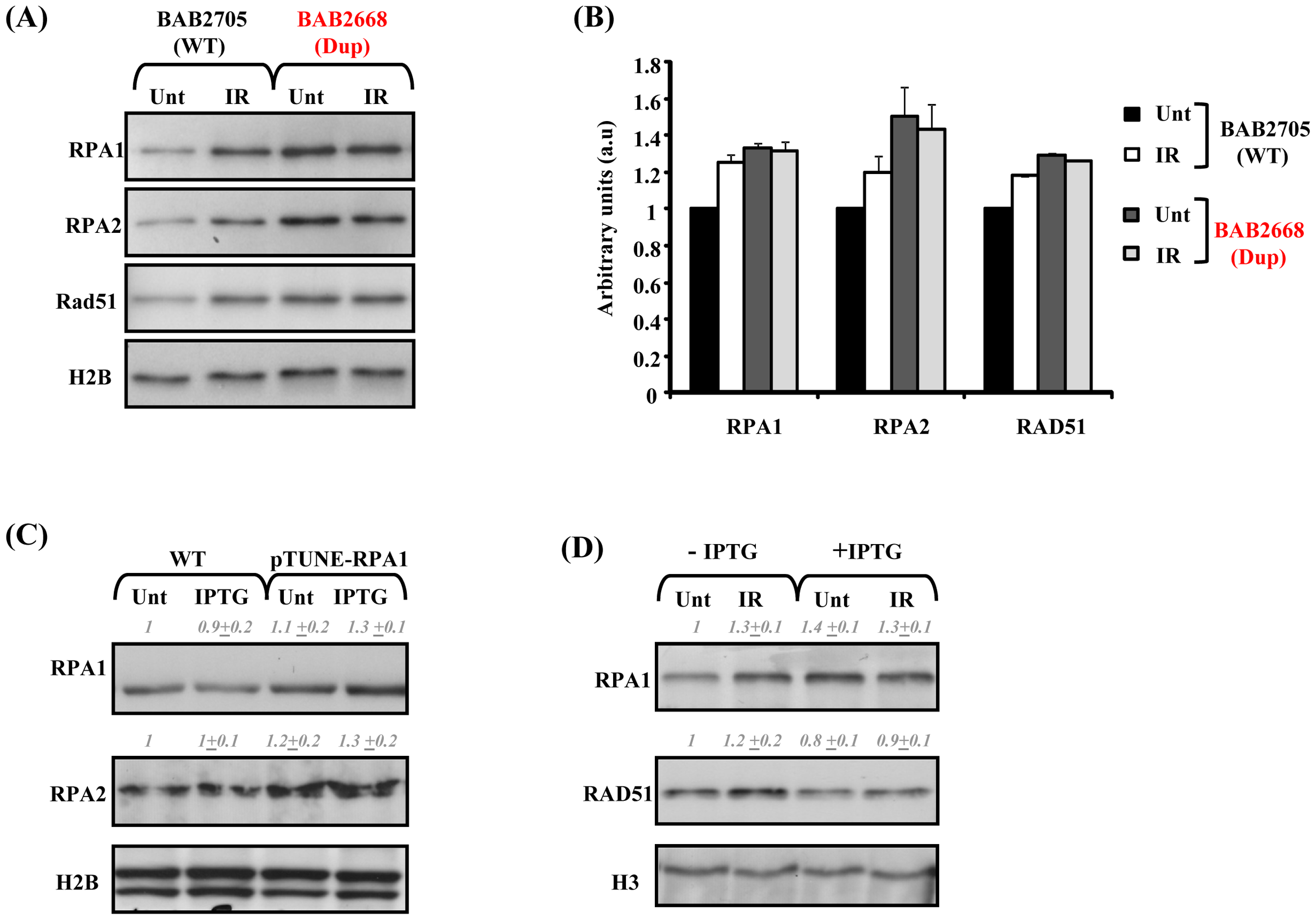 Modest RPA1 over-expression is associated with attenuated IR–induced RAD51 chromatin retention.