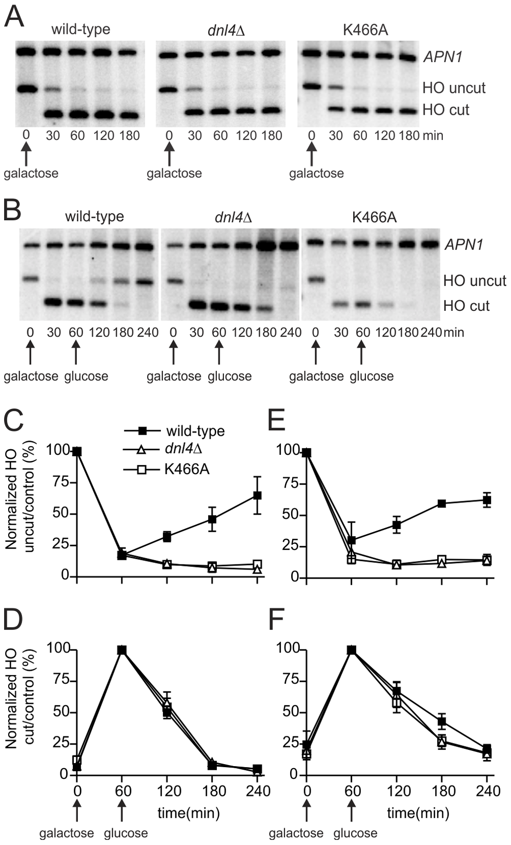Catalytically inactive Dnl4 protein does not impede DSB resection.