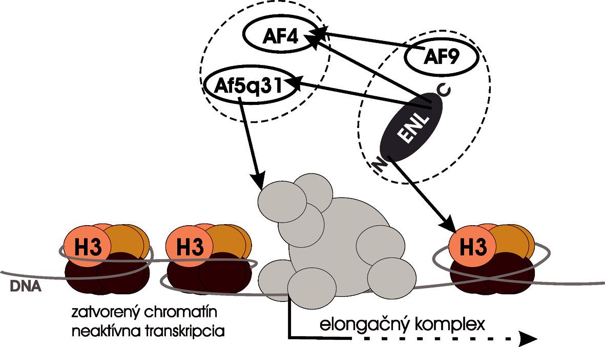 """""""MLL-web"""". Najčastejšie nukleárne partnery MLL tvoria hypotetický proteínový komplex, v ktorom sú pospájané medzi sebou pomocou vzájomných interakcií. ENL zabezbečuje kontakt medzi komplexom a chromatínom. AF5q31 interaguje s elongačným komplexom (modifikované podľa 25)."""
