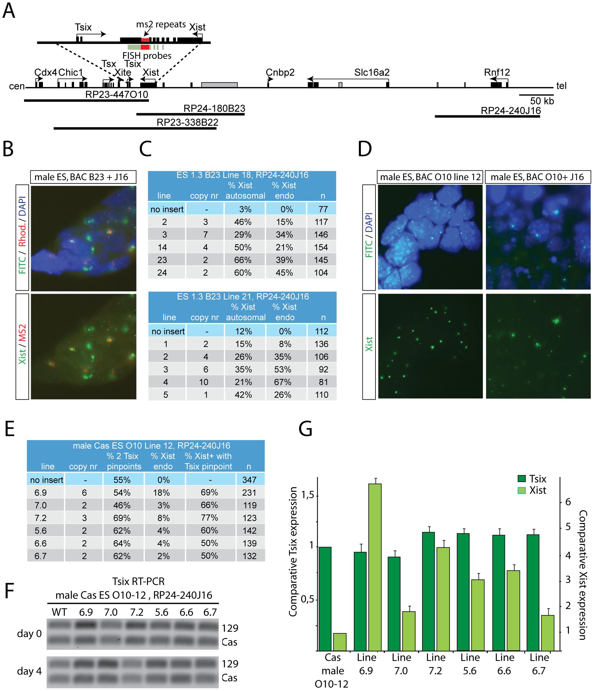 RNF12 activates <i>Xist</i> directly, but does not inhibit <i>Tsix.</i>