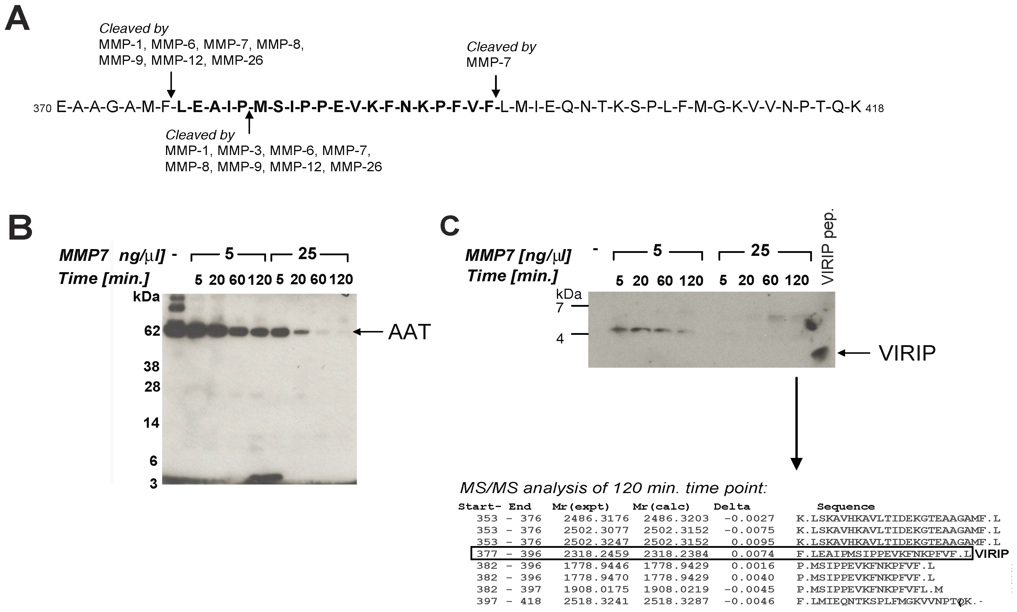 Proteolytic processing of AAT by MMP-7 generates VIRIP in vitro.