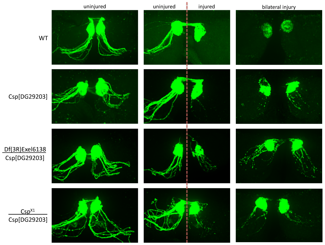Detailed genetic analysis confirms DNAJC5/CSP as a robust regulator of axo-synaptic degeneration <i>in vivo.</i>