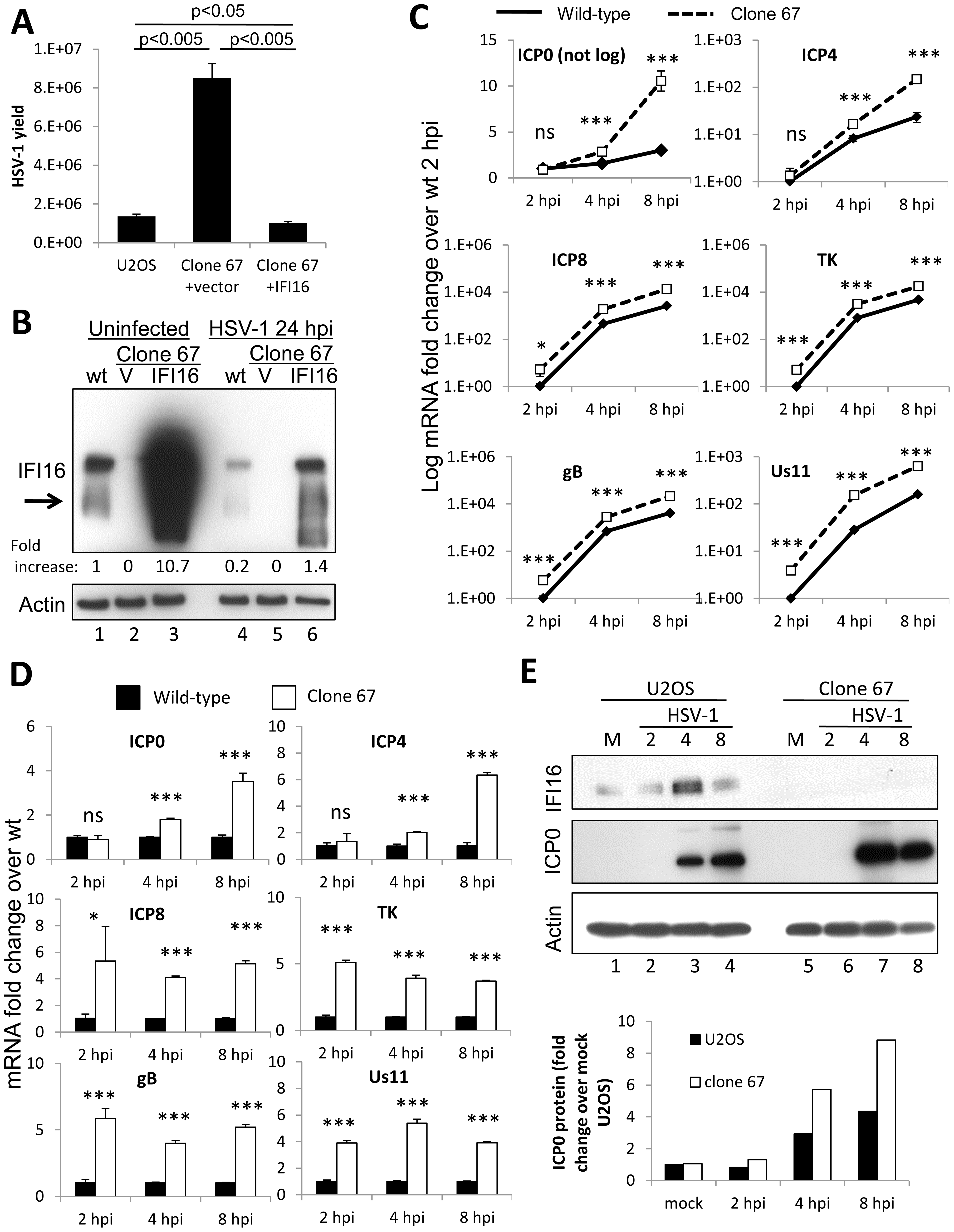 Effect of Cas9-mediated U2OS cell IFI16 gene edition on HSV-1 gene expression and replication, and comparison with wt U2OS cells.