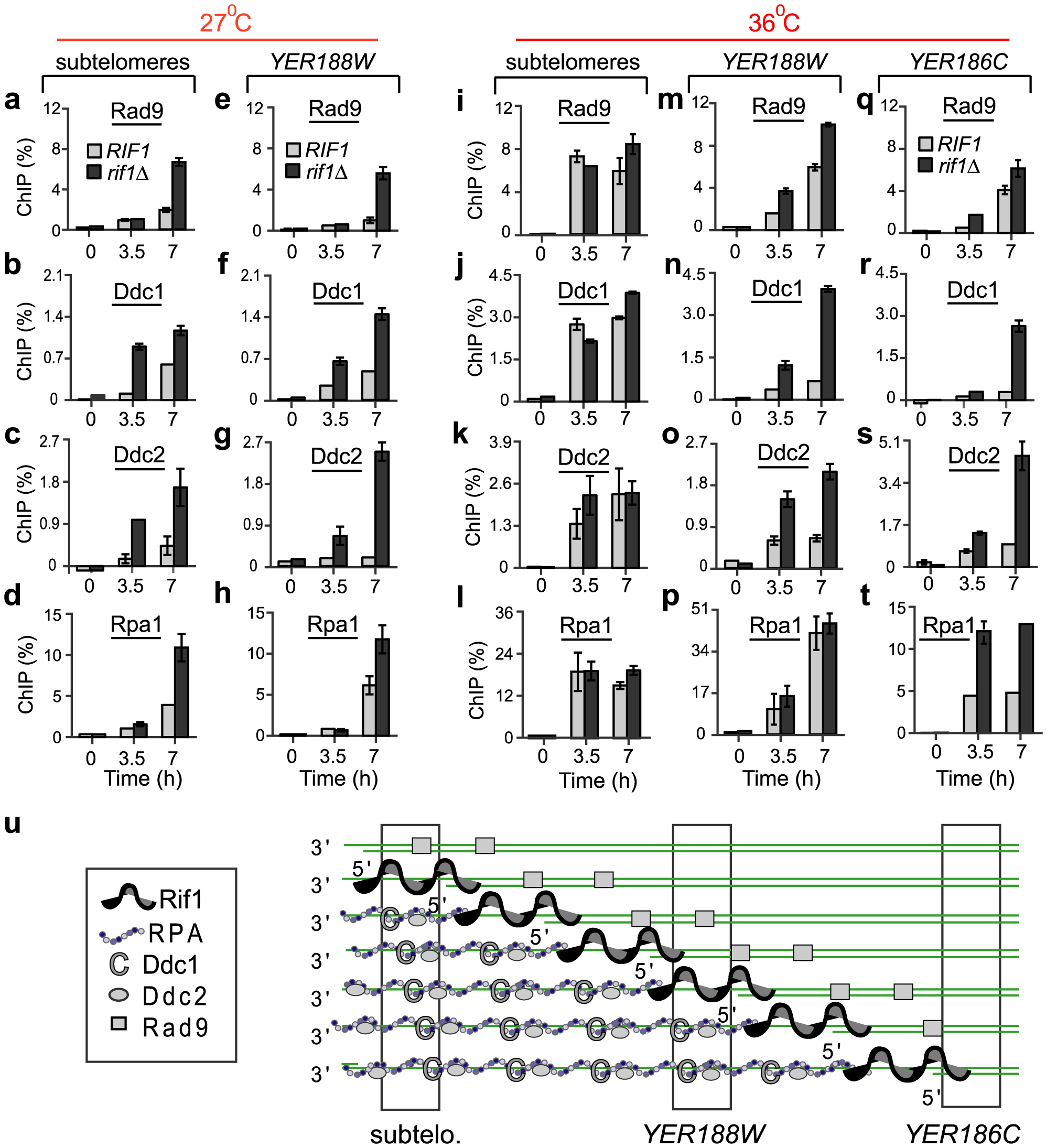 Rif1 inhibits the recruitment of checkpoint proteins and Rpa1 to sub-telomeres and single gene loci.